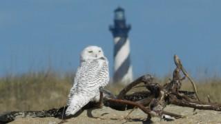 Owl-Snowy-113013-NC-a3