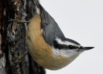 Red-breasted-Nuthatch-Fish-Cr-Pk
