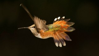 Rufous Hummingbird by Mark Schmitt. The species nests from Oregon north to south-central Alaska.