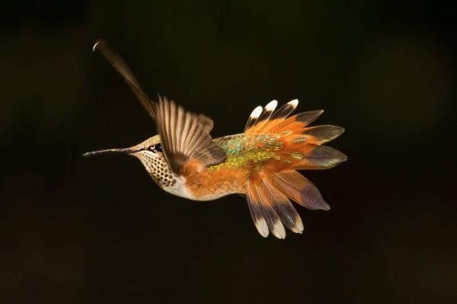 Partnership targets Rufous Hummingbird, other forest birds