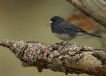 SLATE-COLORED-JUNCO_1