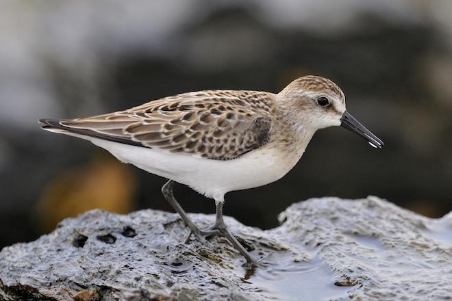 Dramatic decline of Puerto Rico's wintering shorebirds