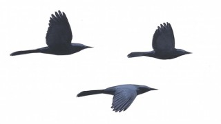 Common Grackles, two males and a female, fly in the nonbreeding season. The males are holding their tails tightly closed. Art by David Allen Sibley.