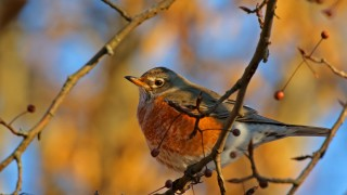 American-Robin_David-Butel_Kansas-City_2016_5I2A2995