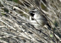 Black-throated-Sparrow-8-42-am-San-Pascal-CBC-1-2-16