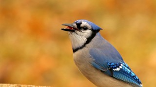 Blue-Jay_David-Butel_Kansas-City_2016_5I2A3150