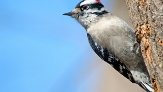 Downy Woodpecker in Audubon, New Jersey, by Brian Kushner.