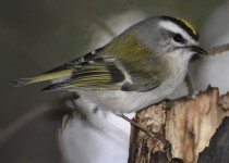 Golden-crowned-Kinglet-Calgary