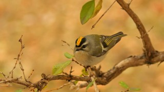 Golden-crowned-Kinglet_David-Butel_Kansas-City_2016_5I2A2485