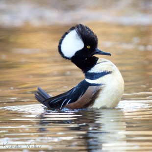 Hooded Merganser by Kameko Walker