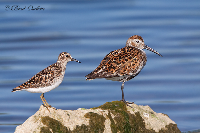 Least Sandpiper and Dunlin
