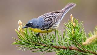 Kirtland's Warbler starts its annual movements by flying west in the spring and east in the fall. Photo by Nathan W. Cooper