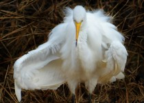 SW-Great-Egret-Fluff-Feathers