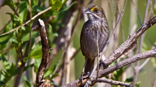 Secretive Seaside Sparrow lives in salt marshes along the Atlantic and Gulf coasts and is a year-round resident of Louisiana. Photo by Elliotte Rusty Harold/Shutterstock.