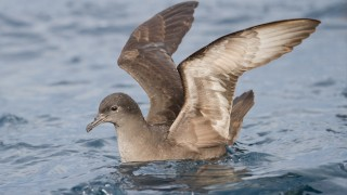 A Short-tailed Shearwater floats off the coast of Tasmania, Australia. Photo by JJ Harrison (Wikimedia Commons).
