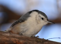 White-breasted-Nuthatch-Calgary