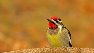 Yellow-bellied-Sapsucker_David-Butel_Kansas-City_2016_5I2A3114