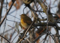 red-flanked-bluetail-lewiston-id-1