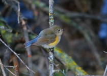 red-flanked-bluetail-lewiston-id-4
