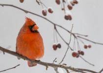 BI-542-Male-cardinal-_B9A7530