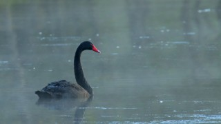 Black-Swan2150_David-Butel_Lake-Tanneycomo_2016_5I2A2150_2