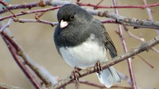 Dark-eyed Junco was the most frequently reported species in the 2016 Great Backyard Bird Count. This one was in Red Oak, Iowa. Photo by Deb Crouse.
