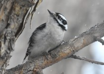 Downy-Woodpecker-Calgary