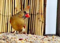 Female-Cardinal-at-feeder-002