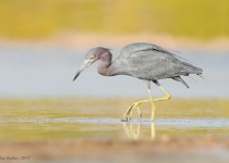 Little-Blue-Heron-2