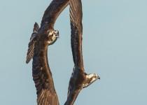 Osprey-nest-345-Edit-1