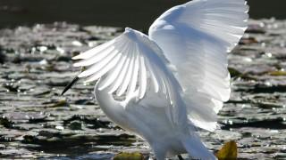 Snowy-Egret_5807