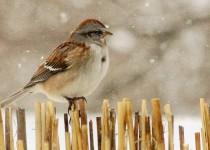 Sparrow-in-snow-003
