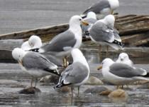 California-Gulls-Calgary