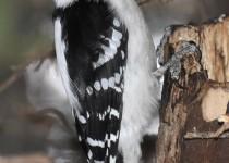 Downy-Woodpecker-Calgary