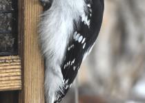Downy-Woodpecker-Calgary1
