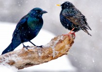 Grack-Starling-Conversation-sml