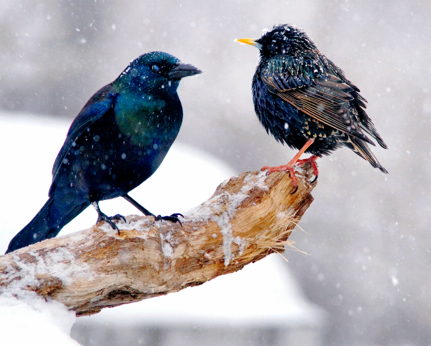 Common Grackle & European Starling