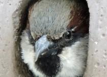 House-Sparrow-Calgary-2