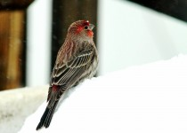 Male-Housefinch-in-Snow-sml