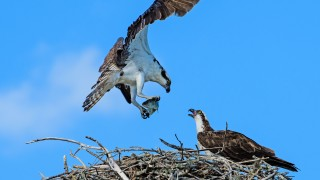 Osprey7561Feb3Mar3
