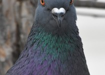 Rock-Pigeon-Cagary