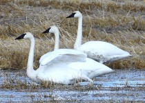 Trumpeter-Swans-Hwy-22X-2