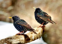 Two-Starlings-on-a-stick.-sml