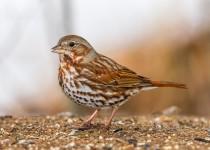 birdwatching_fox_sparrow-0128
