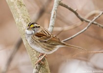 birdwatching_white_throated_sparrow-0076