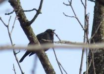 1-0f-30-Rusty-B-birds
