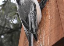 Black-capped-Chickadee-Calgary