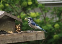 Bluejay-April-28-2017-1b