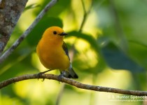 DSC_5983-Prothornotary-Warbler