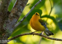 DSC_5985-Prothornotary-Warbler